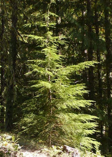 Staircase National Park by Tsuga Heterophylla Western Hemlock Description