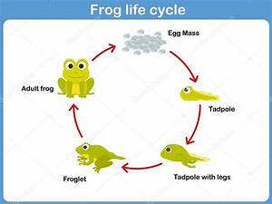 Vector Life Cycle Of A Frog For Kids  U2014 Stock Vector