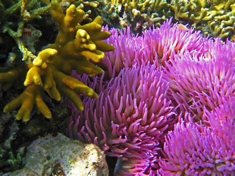 sea anemone north corals sulawesi coral