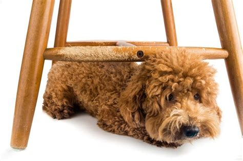 prevent  dog  chewing chair legs cuteness