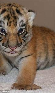 The hilarious moment a newborn rare white tiger cub ...