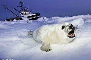 Mother harp seal coaxes her two-week-old pup into the icy ...