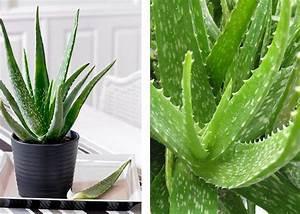 Aloe Vera Gel Herstellen : aloe vera zimmerpflanze diy aloe vera creme selber machen aus milch und l mach 39 s nachhaltig ~ Frokenaadalensverden.com Haus und Dekorationen