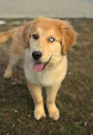 Husky Golden Retriever Puppies