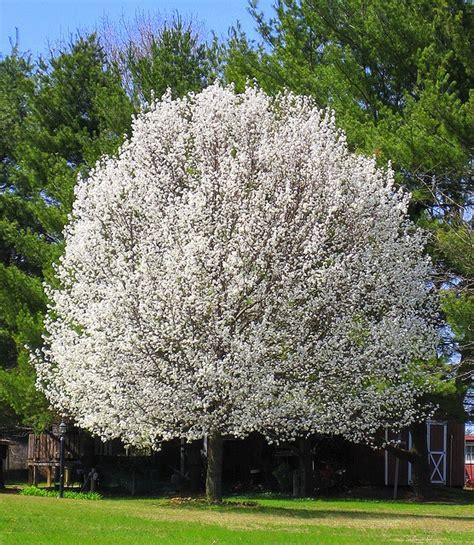 flowering trees flowering pear tree trees pinterest