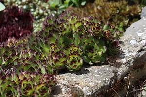 Die Schönsten Steingärten : sukkulenten als bodendecker die sch nsten arten ~ Bigdaddyawards.com Haus und Dekorationen