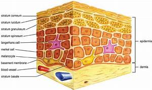 Normal Skin Structure Showing Layers Of Dermis And Epidermis