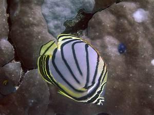 Butterflyfishes | Thai Scuba