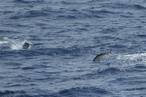 tuna yellowfin fish fishing florida deep west key keys fighting caught species