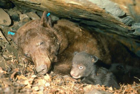 hibernation and cubs bear smart durango