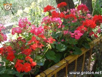 chambre d hote issoire photo géraniums roses et rouges photos fleurs