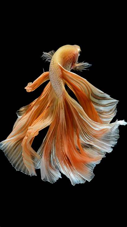 Iphone Fish 6s Wallpapers Apple Betta Gold