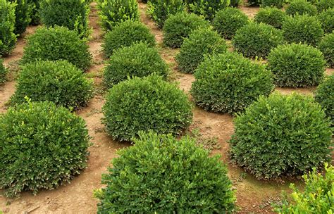 green shrubs buxus micropylla var korean winter green winter gem boxwood cherry