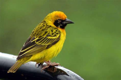 weaver bird weaver birds lee s birdwatching adventures plus