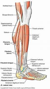 Flashcards - Anatomy 11 - Leg  Ankle Joint