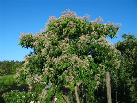unsere pflanze des monats august bienenbaum tetradium