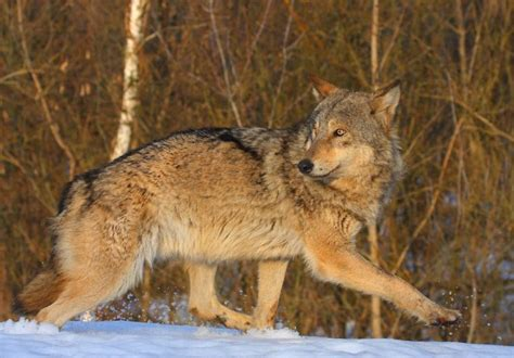 Chernobyl's wolves feed on deer and even catch fish. Mammals Return to Chernobyl Accident Area, Despite Ongoing ...