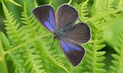 Butterfly Purple Hairstreak Female British Cerris Quercus