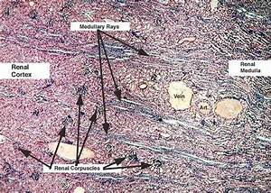 Pics For > Labeled Kidney Slide Renal Tubules