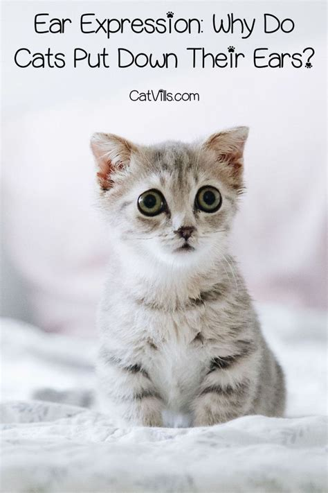 put cat they cats why scared ears down catvills