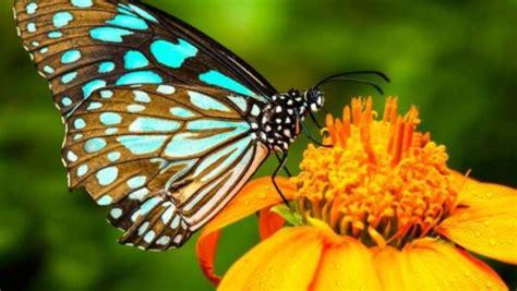 caracteristicas de las mariposas tipos habitat  mas