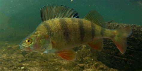 perch fish canal fishing   uk canal river trust