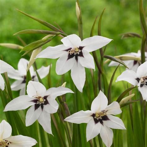 acidanthera murielae longfield gardens