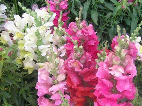 bocca di fiore bocca di fiore piante annuali caratteristiche