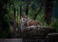 Tiger Wildlife Nature