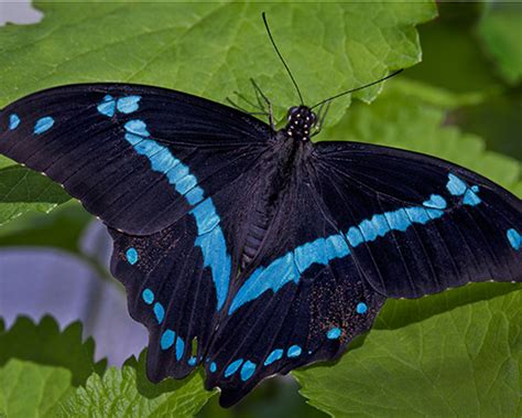 Blue Banded Swallowtail Butterfly