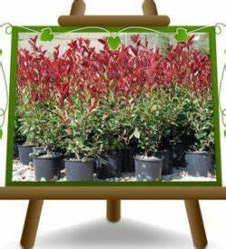 Photinia Fraseri Robusta Compacta : photinia euro plants vivai ~ Buech-reservation.com Haus und Dekorationen