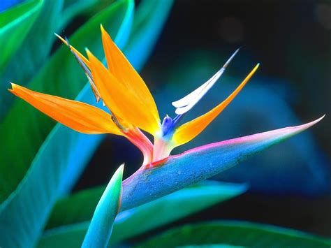 bird of paradise bird of paradise flower pictures meanings
