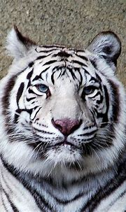 Cincinnati Zoo - White Tiger (4) | Big animals, Big cats ...