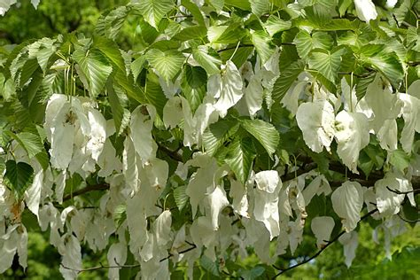 Free photo: Handkerchief Tree   Free Image on Pixabay   1432165