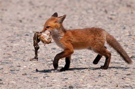 what do foxes eat red fox eating