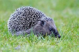 Bilder Von Igel : fotogalerie kategorie heimische wildtiere bild igel ~ Orissabook.com Haus und Dekorationen