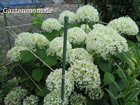 Wie Schnell Wachsen Hortensien by Hortensien Pflegen Und Schneiden Gartenmoni Altes