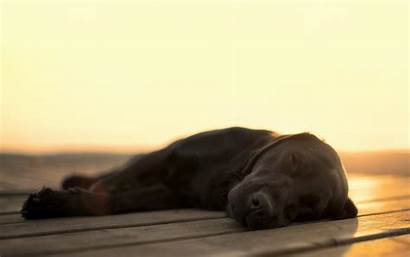 Sleeping Lab Labrador Dog Dogs Chocolate Snore