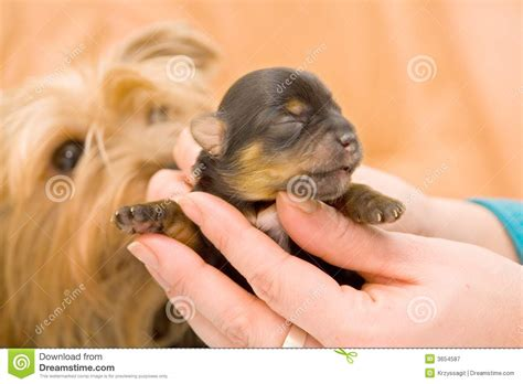 yorkshire terrier baby pup stock image image  canine