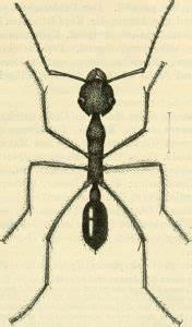 Ameisen Mit Flügel : ameisen ameisenhaltung staatenbildung und ameisenbek mpfung ~ Buech-reservation.com Haus und Dekorationen