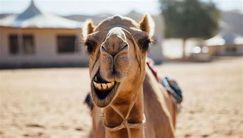 saudi arabian camel beauty contest disqualifies