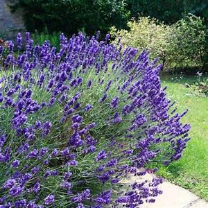 Quand Planter Lavande Dans Jardin : plantes d 39 ext rieur sans arrosage 15 photos pour faire votre choix c t maison ~ Dode.kayakingforconservation.com Idées de Décoration