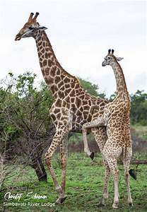 A young female giraffe trying to mate an older male at ...