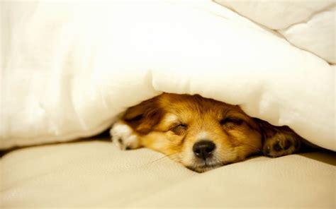 Images Of Cute Sleeping Dog Wallpaper Golfclub