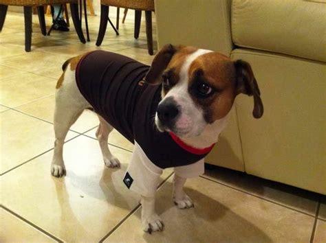 french bulldog beagle mix  sale petsidi
