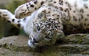 Snow Leopard Funny HD Desktop Wallpapers 4k HD