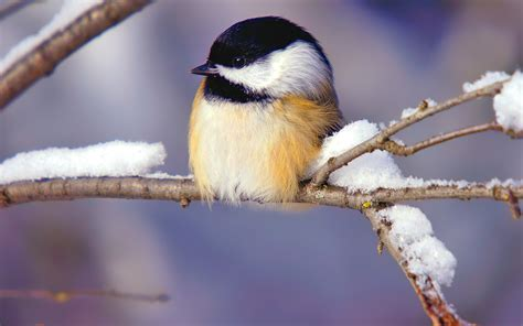 winter season birds chickadee wallpaper 1920x1200
