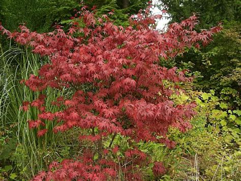 japanese maples care japanese maple tree how to grow and care for japanese maples garden helper gardening