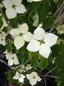 Cornus Kousa Schmetterling : cornus kousa 39 schmetterling 39 japanischer blumen ~ Michelbontemps.com Haus und Dekorationen