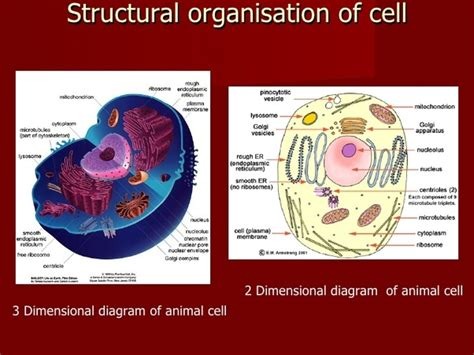 animal cells  cell walls quora